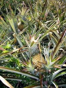 Sugarloaf Pineapple Bushes